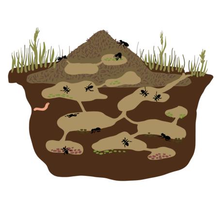 Illustrasjon av hvordan en maurtue ser ut inni.