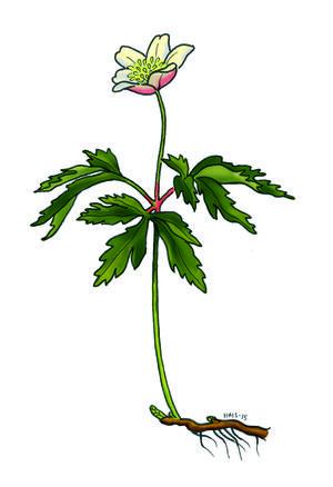 Blomster Kfuk Kfum Speiderne